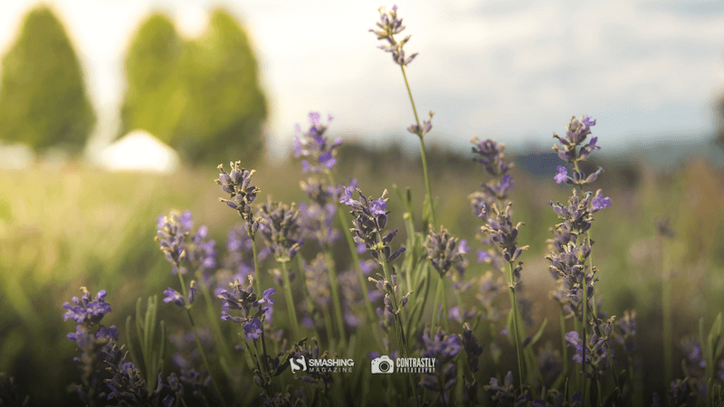 Lavender Is In The Air!